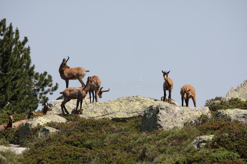 Download Pyrenean chamois stock image. Image of pyrenees, ruminant - 21501221