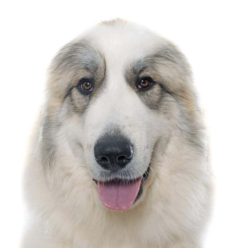 Pyrenean Gebirgshund lizenzfreie stockbilder