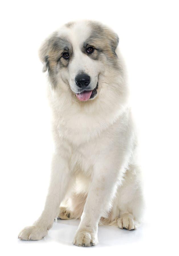 Pyrenean Gebirgshund stockbild