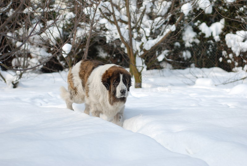Pyrenean Mastiff stock afbeeldingen