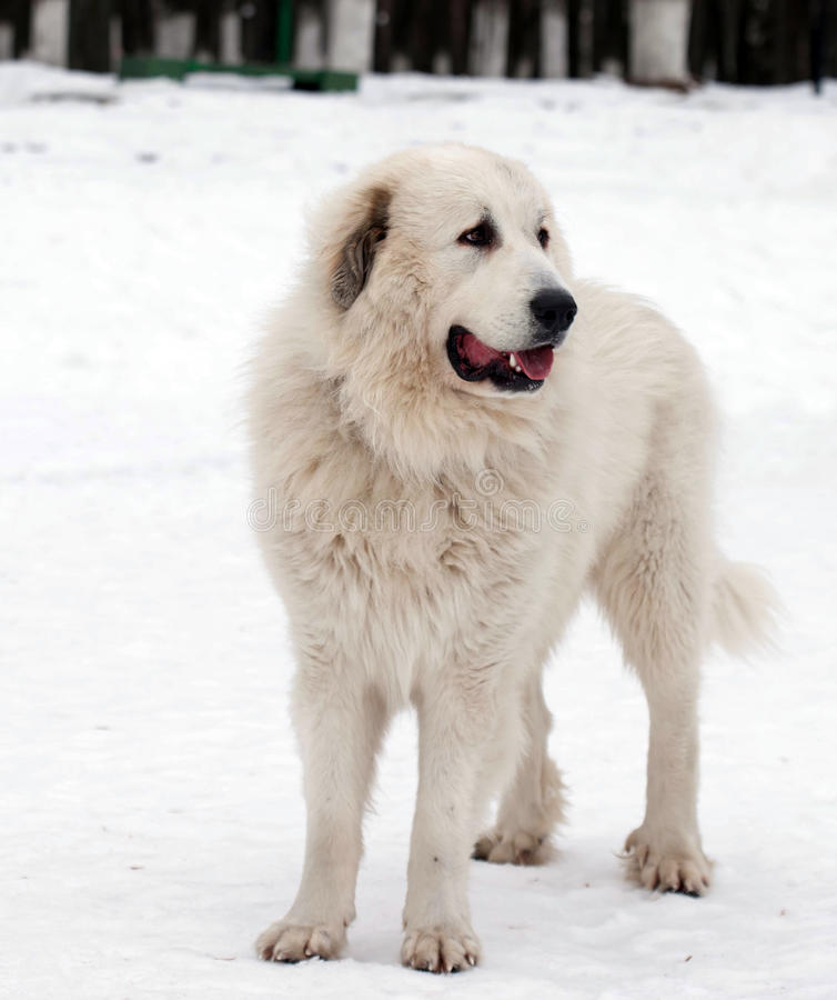 Free Pyrenean Mastiff In Winter Day. Stock Images - 50392184