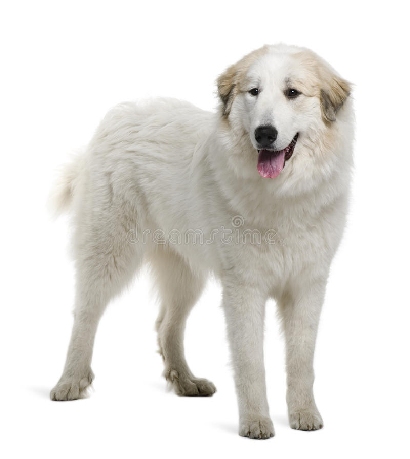 Pyrenean Mountain Dog or Great Pyrenees stock images