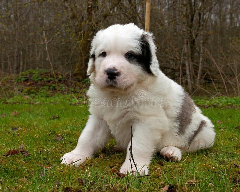 Pyrenean mastiff puppy 5 weeks stock photos