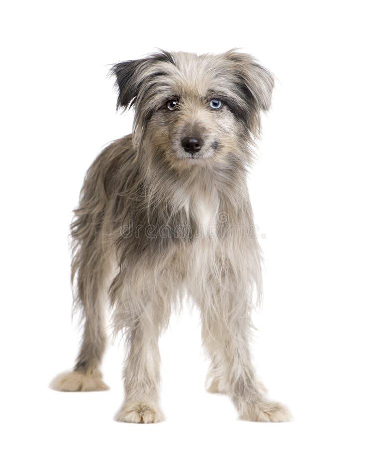 Pyrenean Schäferhund (1 Jahr) stockbild