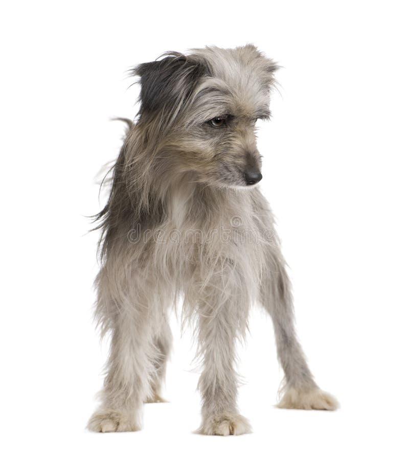 Pyrenean Schäferhund (1 Jahr) stockbilder