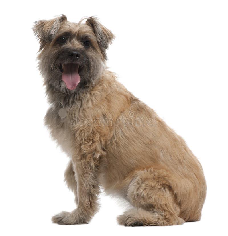 Pyrenean Schäferhund, 8 Jahre alt, sitzend lizenzfreies stockbild