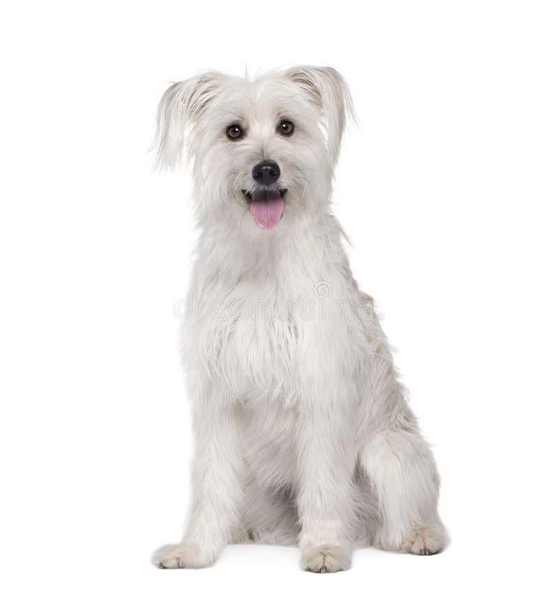Pyrenean Schäferhund vor weißem Hintergrund stockfotos