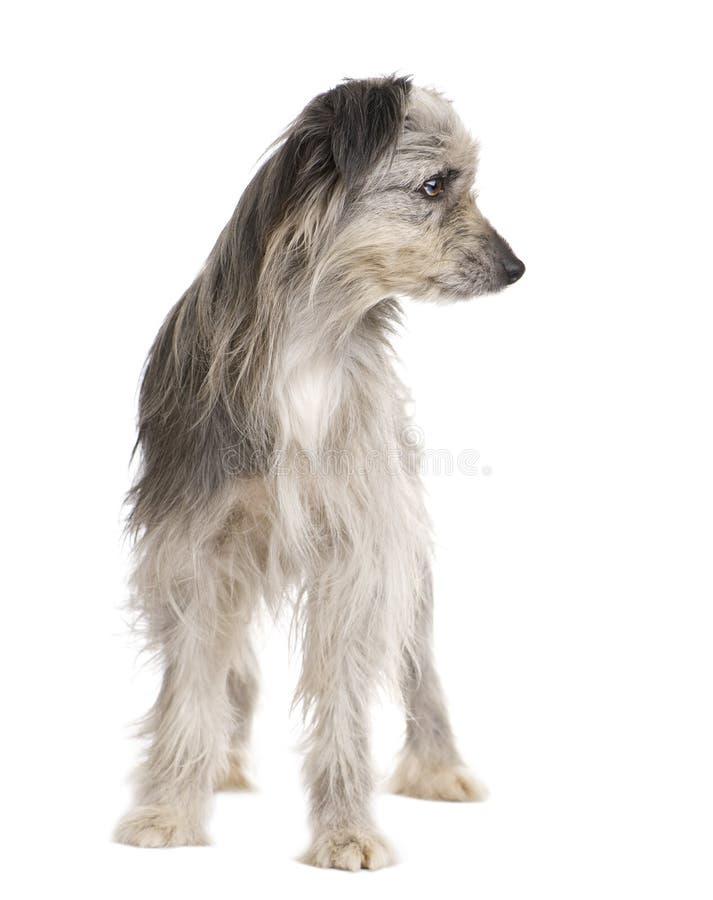 Pyrenean Shepherd (1 year) stock image