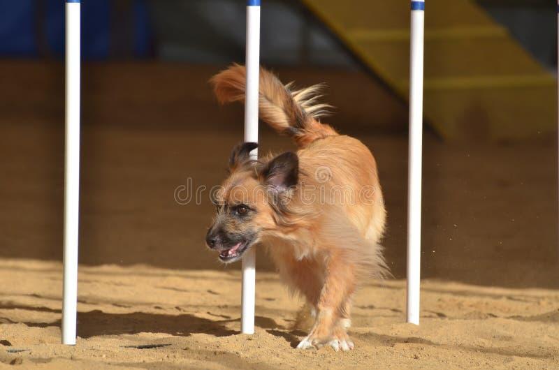 Pyrenean Shepherd at a Dog Agility Trial stock photos