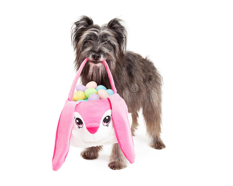 Pyrenean Shepherd Dog Deliering Easter Eggs. Pyrenean Shepherd dog standing and carrying a plush Easter basket that looks like a bunny and is holding pastel stock photo