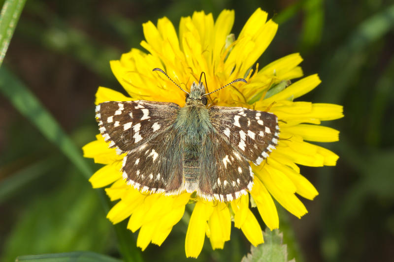Pyrgus malvae Butterfly (Grizzled skipper) stock photography