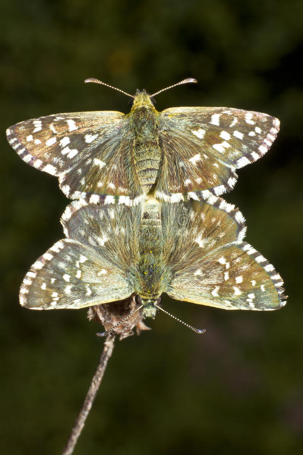 Download Pyrgus Malvae Butterfly Mating (Grizzled Skipper) Stock Image - Image: 20551195