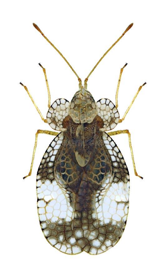 Pyri van insectenstephanitis royalty-vrije stock fotografie