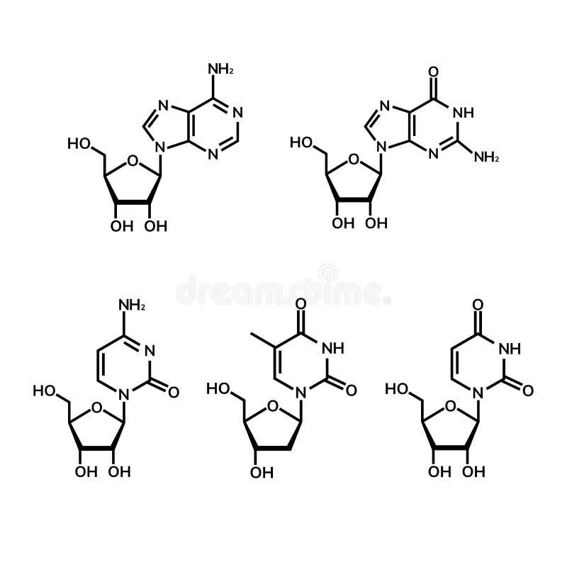 Pyrimidine- och purinenucleosides royaltyfri illustrationer