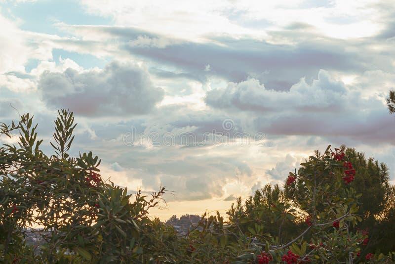 Pyrocantha cespuglio con le bacche rosse che trascurano valle e collina coperta domestica al tramonto fotografia stock libera da diritti