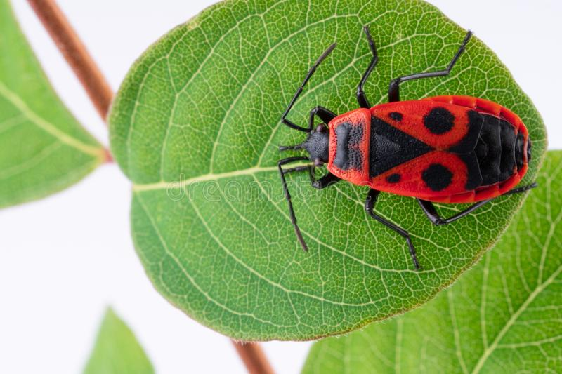 Pyrochroidae fire beetle on a leaf of a tree. close up, macro royalty free stock photo