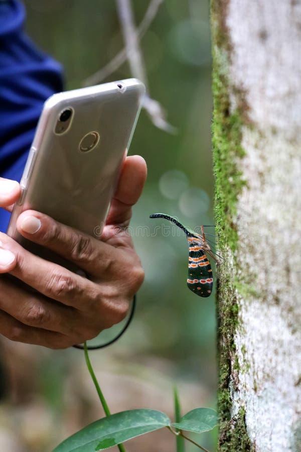 Pyrops Candelaria auf Baum witn Hand unter Verwendung des Telefons, zum von Fotos zu machen stockbild