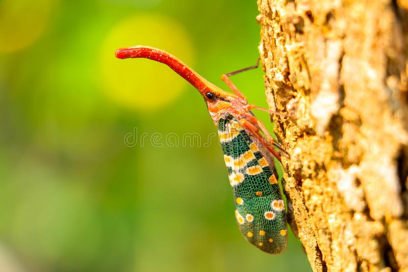 Pyrops candelaria Insect nature stock image