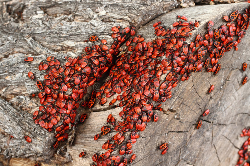 Download Pyrrhocoris Apterus Stock Photo - Image: 24858760