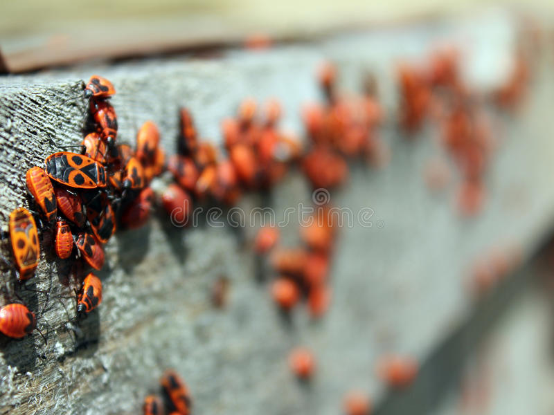 Pyrrhocoris-apterus stockfoto