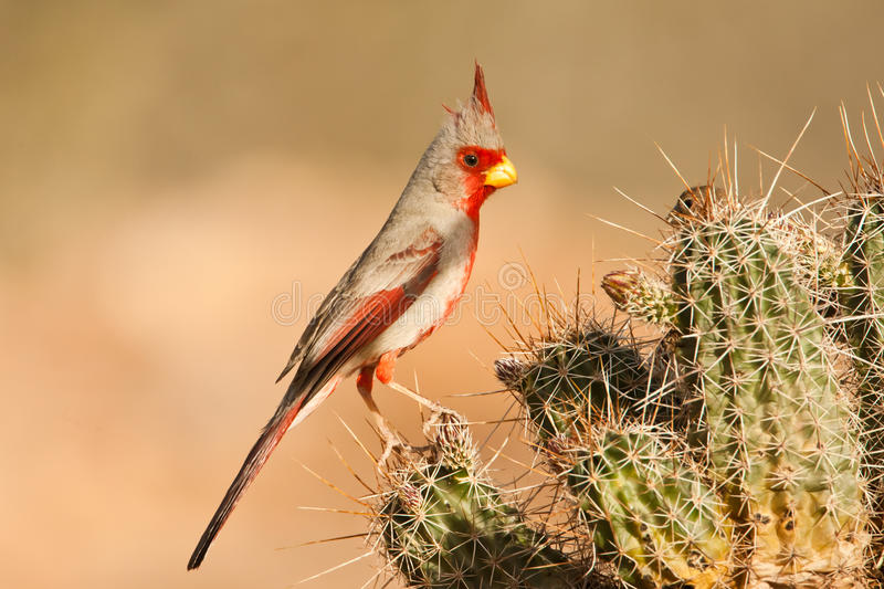 Download Pyrrhuloxia Stock Image - Image: 24341451