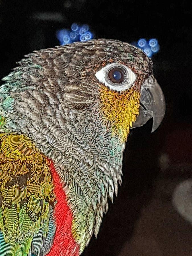Pyrrhura Perlata zdjęcia stock