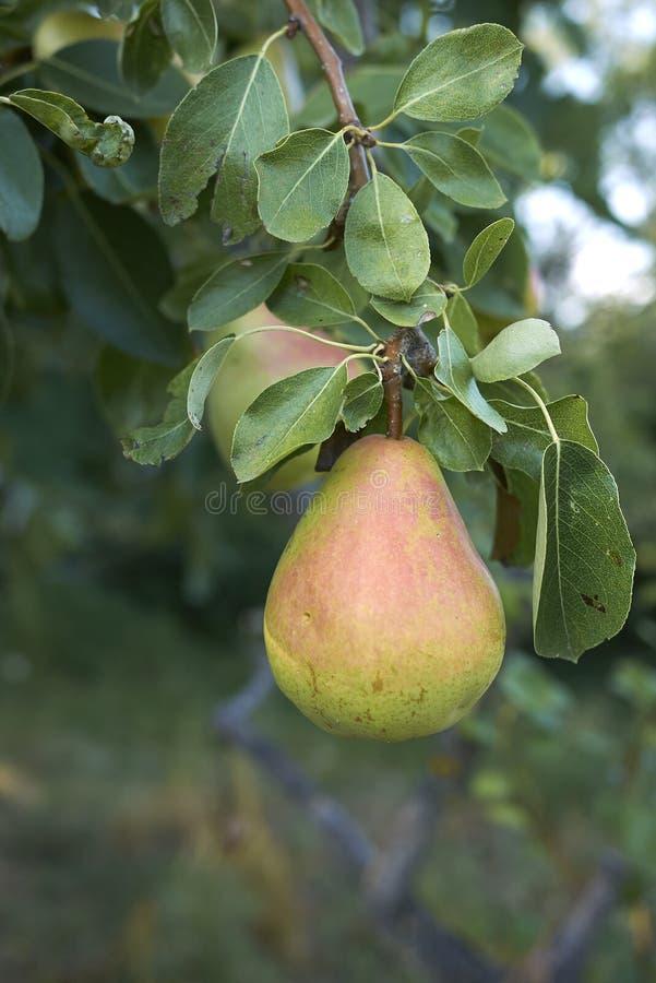 Pyrus草本种属的分支用成熟梨 图库摄影