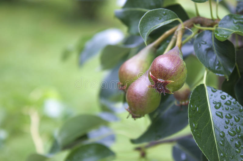Bartlett Pear, Williams Pear, Pyrus Communis `Williams ...