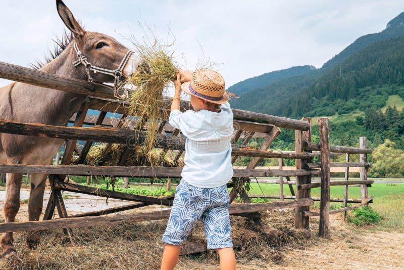 Pysen hjälper att mata en åsna på lantgården arkivbilder