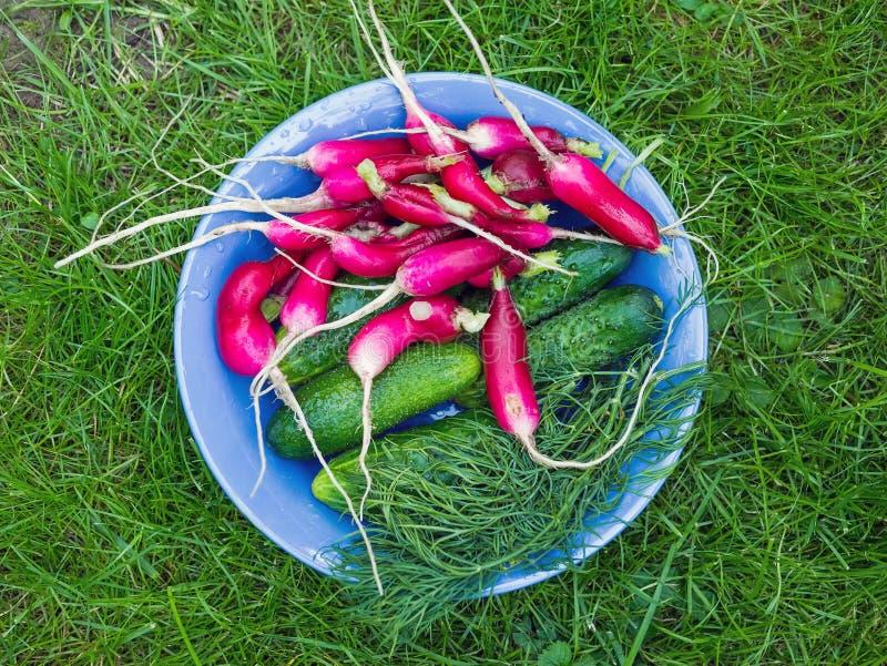 Pyskujący świezi ogrodowi warzywa: rzodkiew, ogórki i koper, zdjęcia royalty free