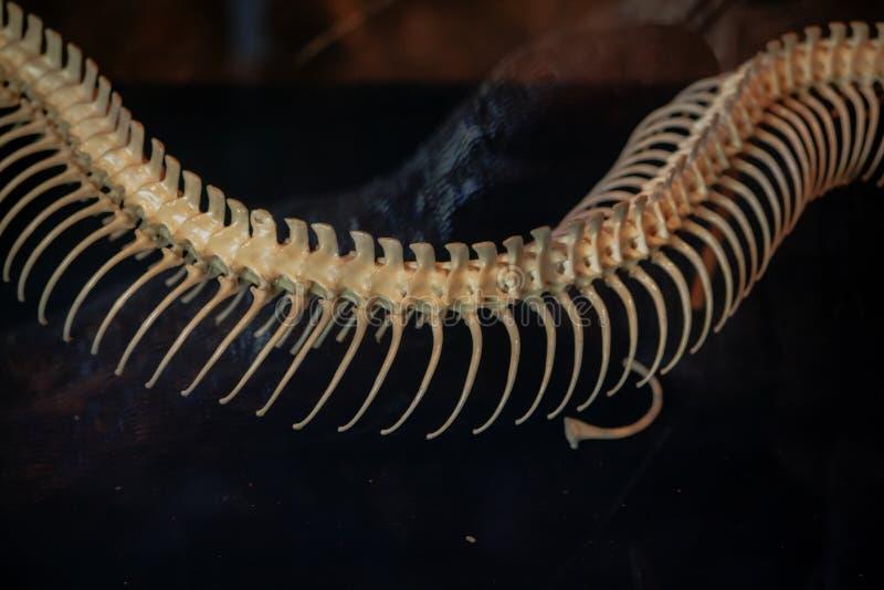 Python的身体去骨在博物馆的内阁的展览 免版税库存图片