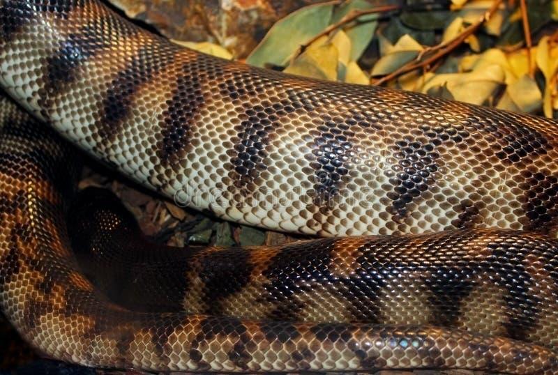 Python à tête noire images stock