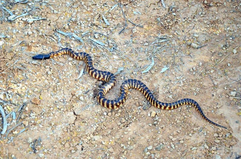 Python à tête noire australien photographie stock libre de droits
