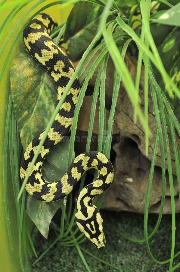 Python photos libres de droits