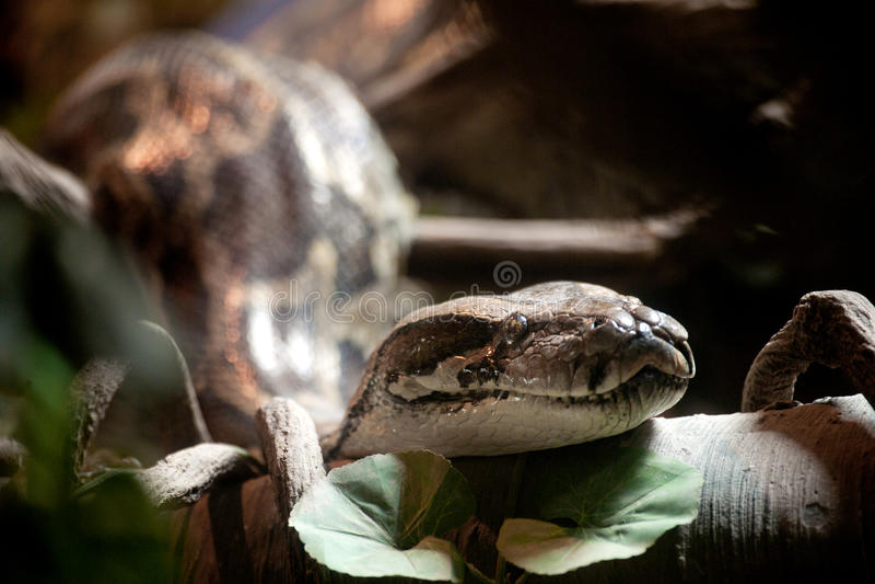 Download Python stock image. Image of close, hide, biology, serpent - 20485001