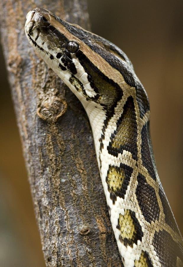 Python photographie stock