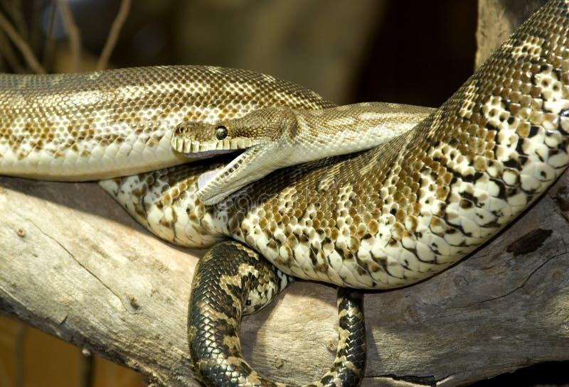 Python australien photos stock