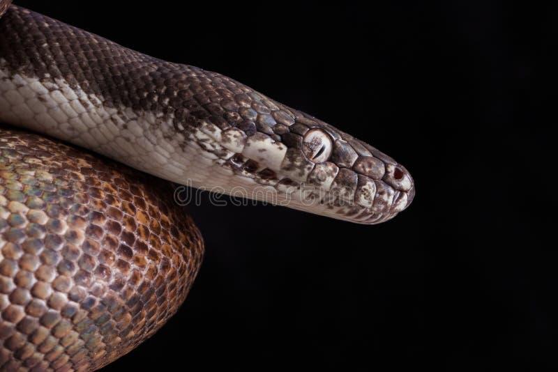 python aux yeux blancs, savuensis de mackloti de Liasis d'isolement sur le fond noir photographie stock libre de droits