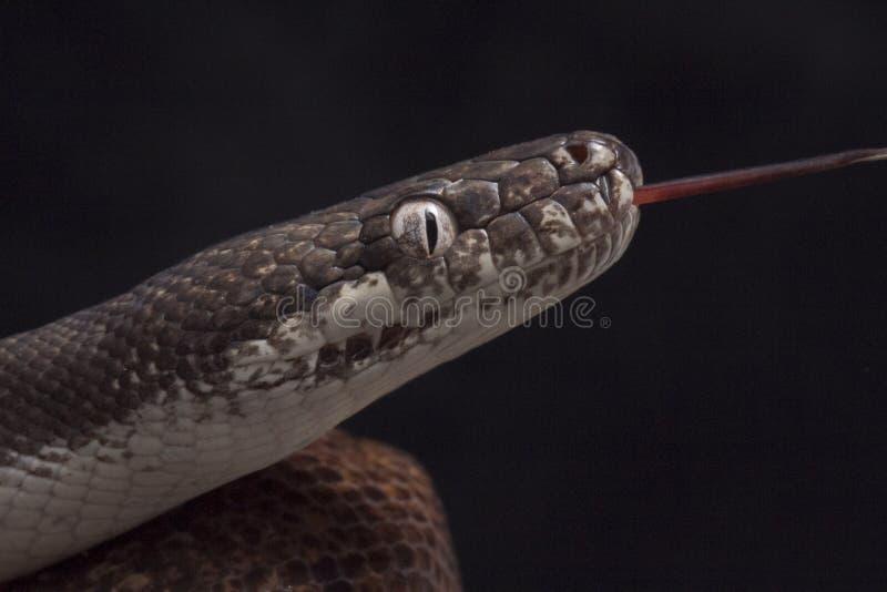 python aux yeux blancs, savuensis de mackloti de Liasis d'isolement sur le fond noir images libres de droits