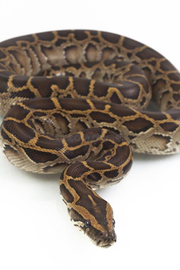 Python birman, bivittatus de molurus de python, images libres de droits