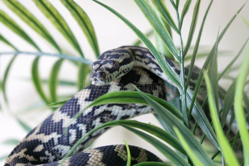 Python côtier juvénile de tapis photographie stock libre de droits