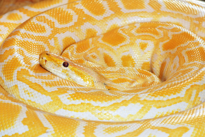 Python d'or images libres de droits
