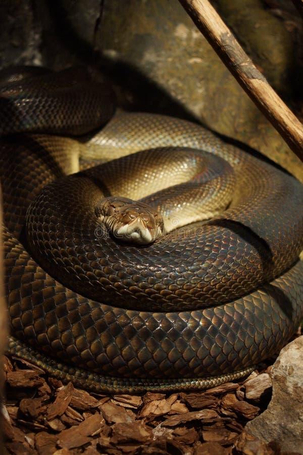 Python d'améthyste - amethistina de Morelia photos libres de droits