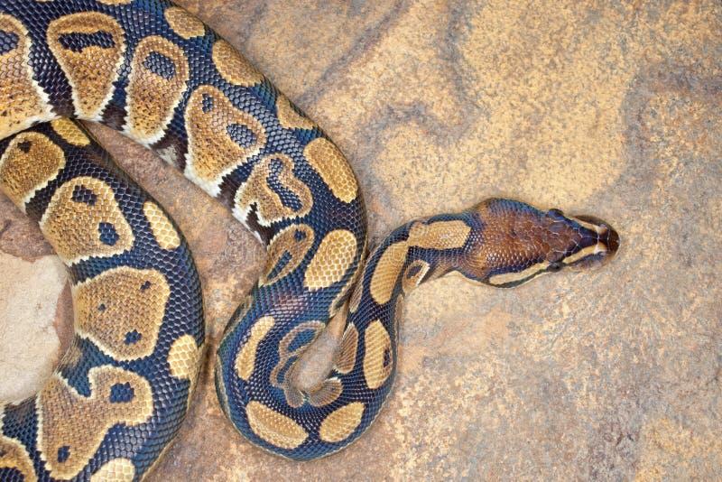 Python de bille image libre de droits