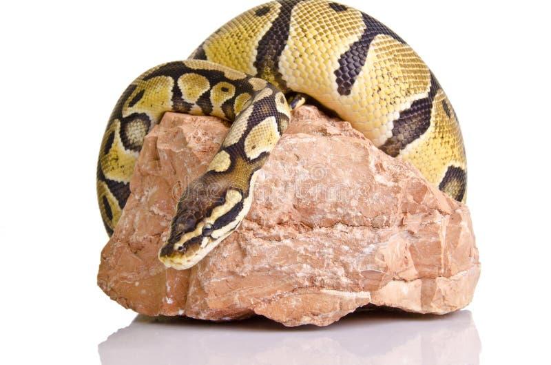 Python de bille photographie stock libre de droits