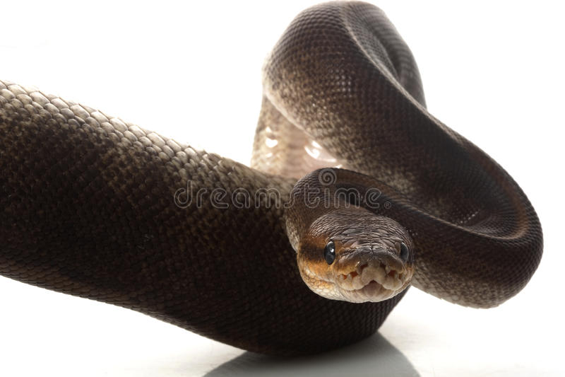 Python de bille de camouflage images libres de droits