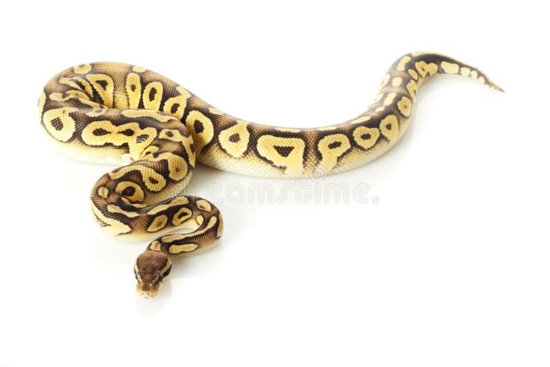 Python de bille de Pastave photos stock