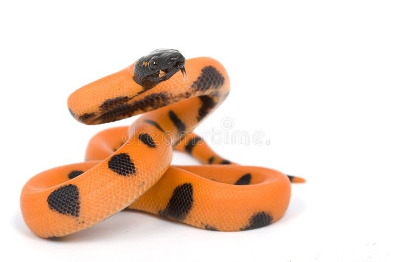 python de bismark bagué image libre de droits