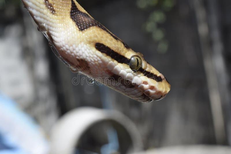 Python de boule photo libre de droits