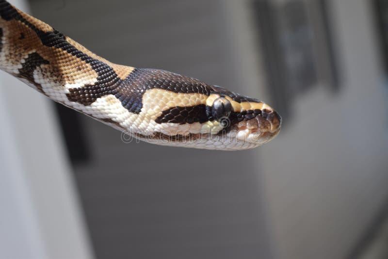 Python de boule photographie stock libre de droits
